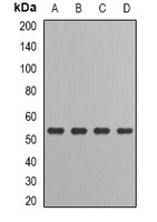 Anti-IRF-6 Antibody