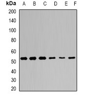 Anti-KLF4 Antibody