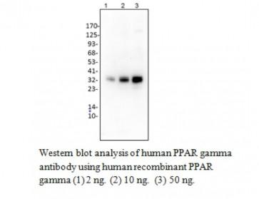 Anti-PPAR gamma Antibody