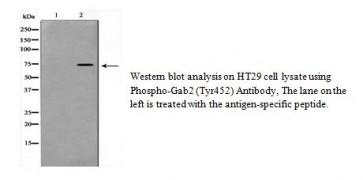 Phospho-Gab2 (Tyr452) Antibody
