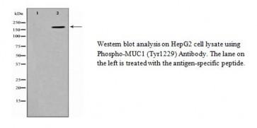 Phospho-MUC1 (Tyr1229) Antibody