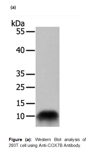 Anti-COX7B Antibody