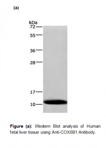 Anti-COX6B1 Antibody