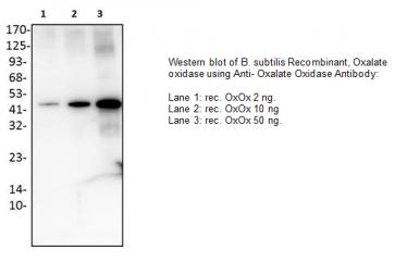 Anti-Oxalate Oxidase Antibody