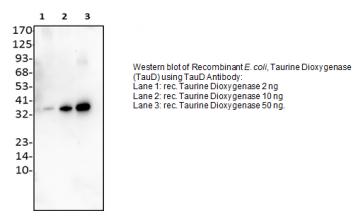 Anti-TauD Antibody