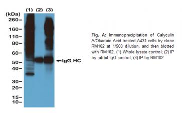 Anti-Phosphothreonine, Rabbit Monoclonal Antibody