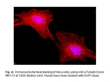 Anti-α-Tubulin, Rabbit Monoclonal Antibody