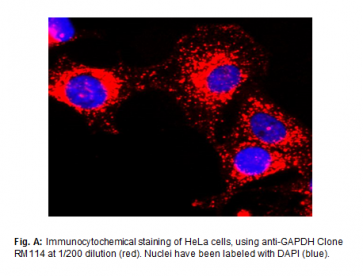 Anti-GAPDH, Rabbit Monoclonal Antibody