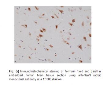 Anti-NeuN (Fox3, RBFOX3), Rabbit Monoclonal Antibody