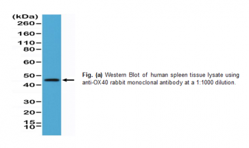Anti-OX40 (CD134), Rabbit Monoclonal Antibody