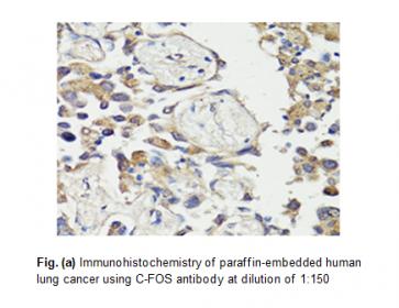 Anti-c-Fos Antibody