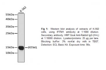 Anti-IFITM1 Antibody