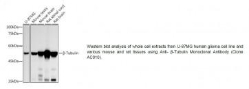 Anti-β-Tubulin Monoclonal Antibody (Clone AC010)