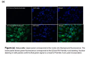 EZClick™ Palmitoylated Protein Assay Kit (FACS/Microscopy), Green Fluorescence