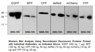 Fluorescent Protein Antibody Set