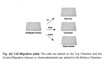 EZCell™ Cell Migration/Chemotaxis Assay Kit, 5 µm
