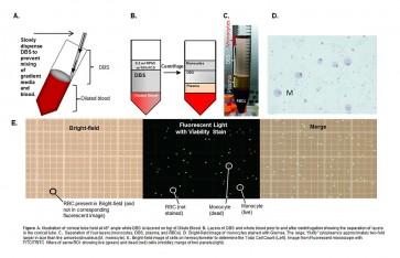 Human Whole Blood Monocyte Isolation Kit