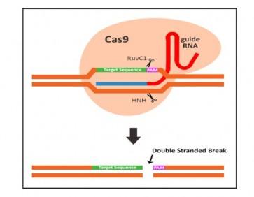 GeneSnipper™ Cas9 Protein