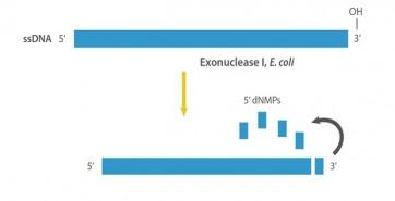 E. coli Exonuclease I