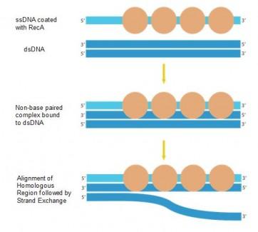 RecA Protein E. coli