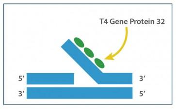 T4 Gene 32 Protein