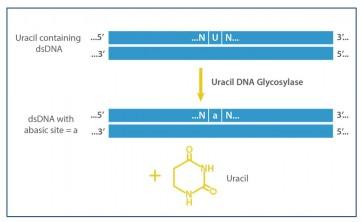 Uracil DNA Glycosylase