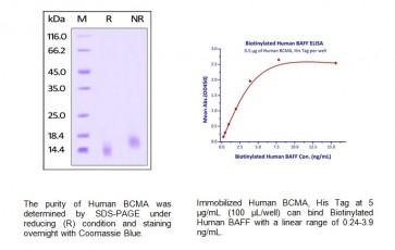 Human CellExp™ BCMA / TNFRSF17, human recombinant