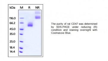 Human CellExp™ CD47, rat recombinant