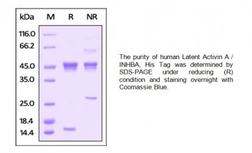 Human CellExp™ Latent Activin A / INHBA,human recombinant