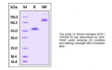 Human CellExp™ GITR / TNFRSF18, Rhesus macaque recombinant