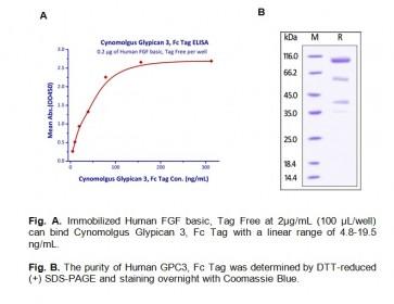 Human CellExp™ Glypican 3 / GPC3, Cynomolgus recombinant