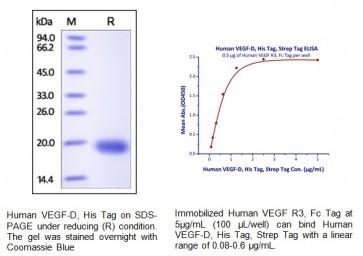 Human CellExp™ VEGF-D, Human recombinant