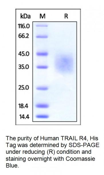 Human CellExp™ TNFRSF10D / TRAIL R4, human recombinant