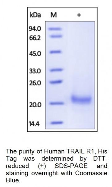 Human CellExp™ TNFRSF10A / TRAIL R1, human recombinant