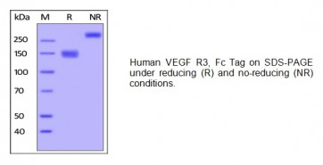 Human CellExp™ VEGF R3, Fc Tag, human recombinant