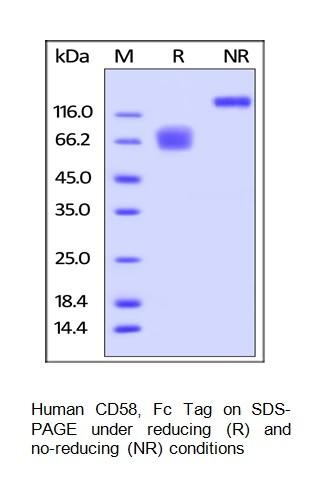 Human CellExp™ CD58 / LFA-3, Fc Tag, human recombinant