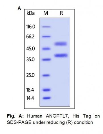 Human CellExp™ ANGPTL7 / CDT6, Human Recombinant