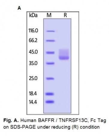 Human CellExp™ BAFFR / TNFRSF13C, Fc Tag Human Recombinant