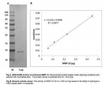 MMP-13, Catalytic Domain, Human Recombinant