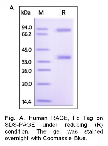 Human CellExp™ RAGE / AGER, Fc Tag, Human Recombinant
