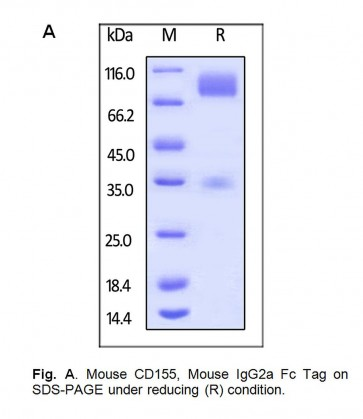 Human CellExp™ CD155, IgG2a Fc Tag, Mouse Recombinant