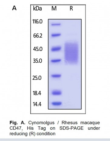 Human CellExp™ CD47, Rhesus macaque Recombinant