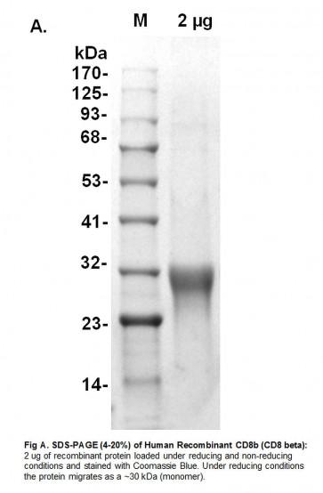 Human CellExp™ CD8b, Human Recombinant