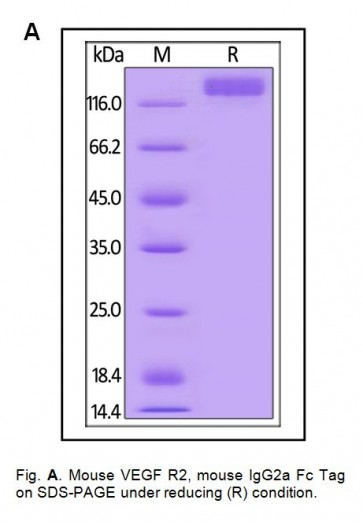 Human CellExp™ VEGF R2 / KDR, Fc Tag Mouse Recombinant
