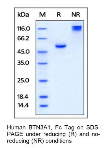Human CellExp™ BTN3A1 / CD277, Fc Tag, Human Recombinant