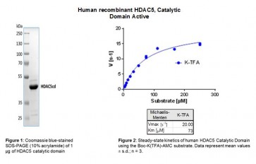 Human CellExp™ HDAC5, Catalytic Domain, Human Recombinant, Active