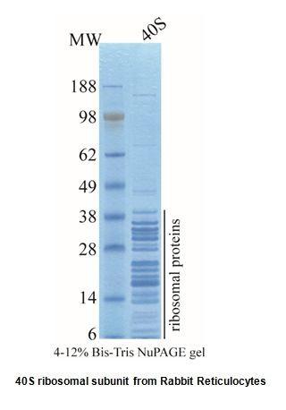 40S ribosomal subunit, Rabbit Reticulocytes