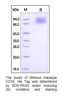 Human CellExp™ CD19, Fc Tag, Rhesus macaque recombinant