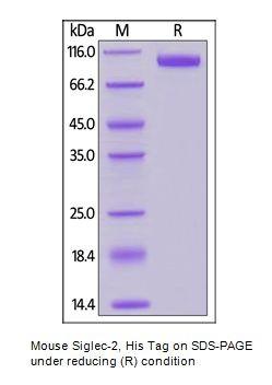 Human CellExp™ Siglec-2 / CD22, Mouse Recombinant