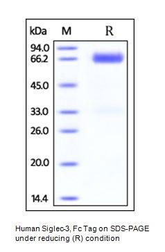 Human CellExp™ CD33 / SIGLEC-3, Fc Tag, Human Recombinant